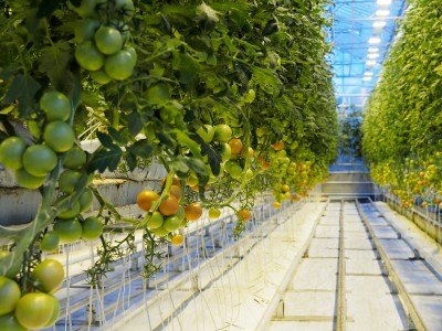 Large scale tomato greenhouse being developed in Tuscany