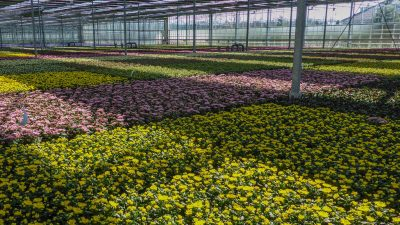 Greenhouses in North Holland are able to cut back on gas due to geothermal energy