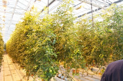 Dutch investors plan large greenhouse operation in Iceland