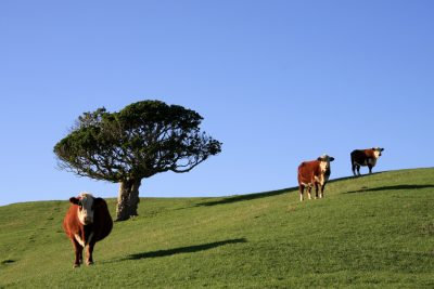 Producing milk powder in New Zealand – a novel take on utilising geothermal energy
