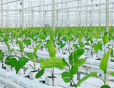 Shallow(er) geothermal resources successfully utilised for Dutch greenhouse operations