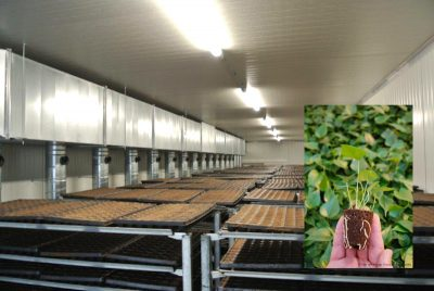 Dutch innovation – drying horticulture seedlings with potting soil utilising geothermal heat